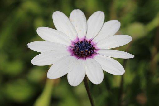 Daisy, White, Flower, Plant, Nature, Flowers, Green