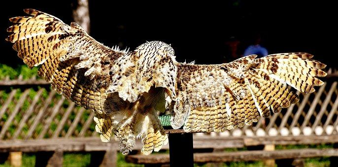 Snow Owl, Fly, Bubo Scandiacus, Bird, Feather