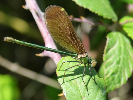 Dragonfly, Calopteryx Virgo, Iridescent, Flying Insect