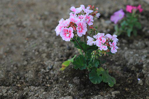 Pink, Purple, Flower, Plant, Nature, Flowers, Green