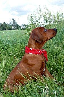 Animal, Dog, Hunting Dog, Rhodesian Ridgeback, Sitting
