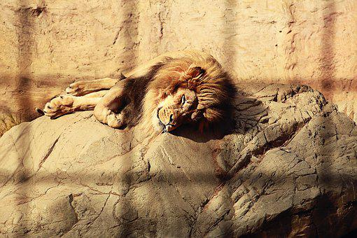 Lion, Caged, Sleeping, Mane, Endangered, Fur, Mammal