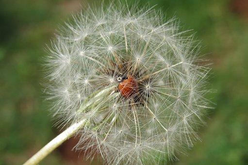 Ladybug, Dandelion, Insect, Flower, Animal, Nature