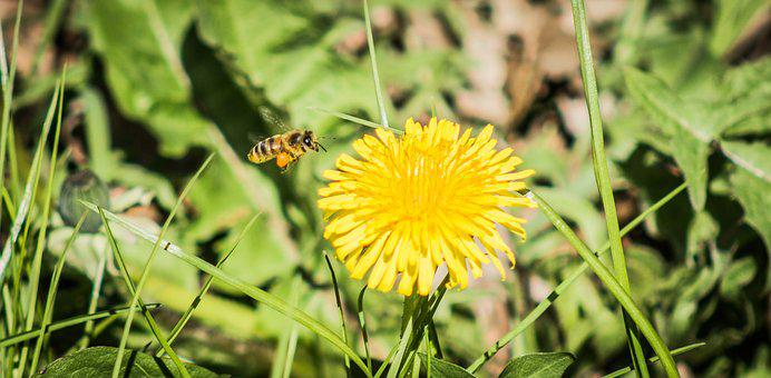 Bee, Flower, Insect, Close, Dandelion, Yellow, Nature