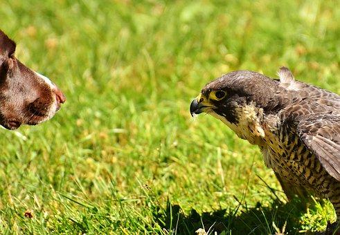 Falcon, Bird, Dog, Raptor, Bird Of Prey, Animal, Nature