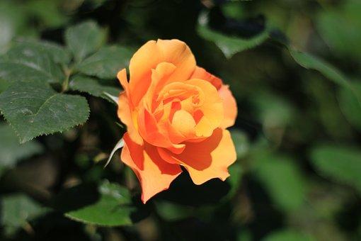 Rose, White, Flower, Plant, Nature, Flowers, Green