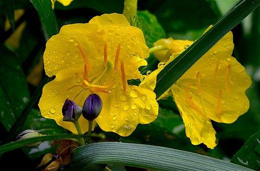 Flower, Yellow, Petal, Dew, Rain Drop, Nature, Spring
