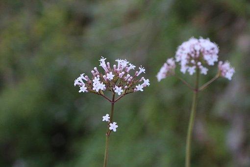 Flower, Plant, Nature, Flowers, Green, Pink Flower