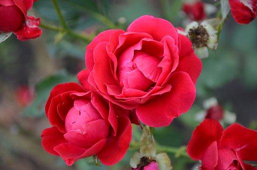 Flower, Rose, Red, Red Flower, Rose Petals, Rose Flower