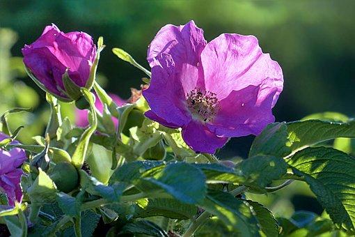 Plant, Rose Hip, Blossom, Bloom, Rosa Canina, Spring