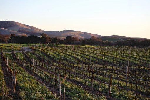 Napa, Valley, Grapes, Vineyard, California, Agriculture