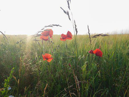 Poppy, Field, Summer, Wheat, Flower, Nature, Red