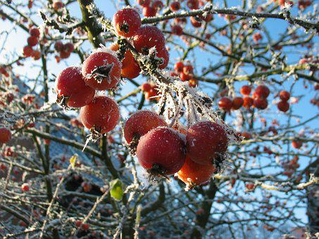 Berries, Frost, Winter, Frozen, Cold, Berry Red, Icy