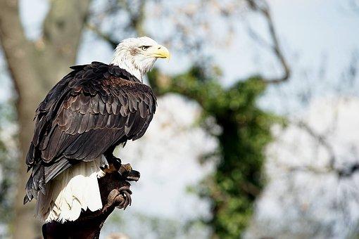 Adler, Bald Eagles, Bird Of Prey, Raptor, Bird
