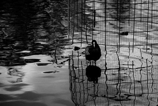 Bird, Reflection, Black And White, Bw, Water, Nature