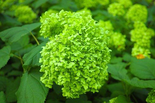 Hydrangea, Bud, Close Up, Japan, Natural, Hydrangeas