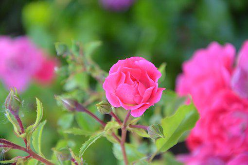 Pink, Rose Bud, Flower, Garden, Nature, Flower Garden