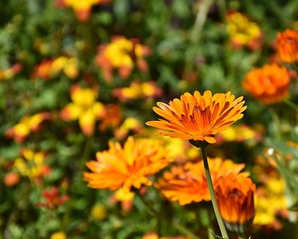 Flowers, Sun Flower, Plant, Colorful, Petals, Bloom