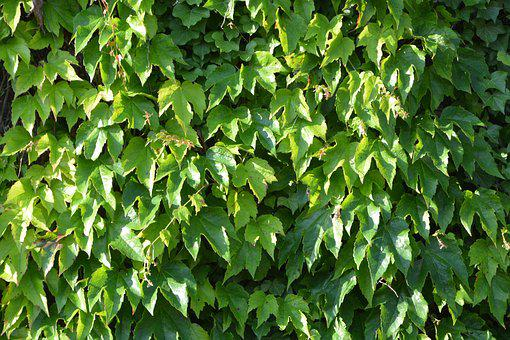 Vine Leaves, Decoration Wall, Green, Natural, Nature