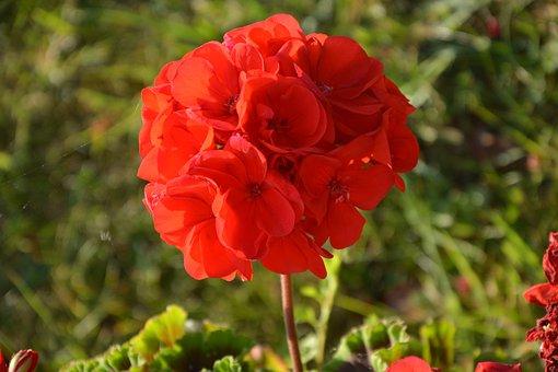 Flower Of Geranium, Red, Garden, House, Red Geranium