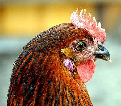 Chicken, Comb, Free Running, Bird, Bill, Livestock