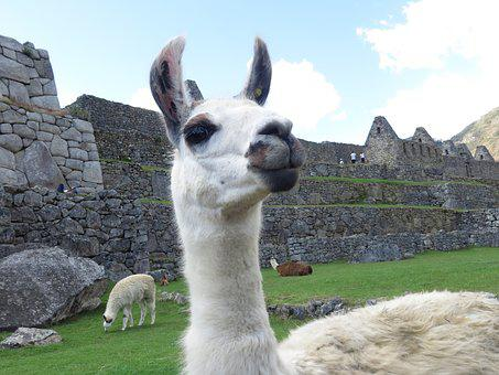 Lama, Peru, Alpaca, Macchu, Picchu, Cuzco, Andes