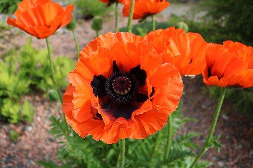 Poppy, Oriental, Flower, Bloom, Blossom, Perennial, Red
