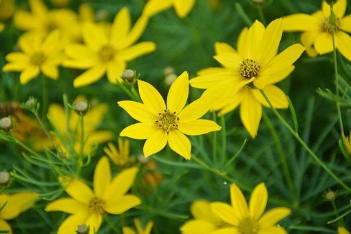 Yellow Flowers, Petals, Garden, Nature, Spring, Summer