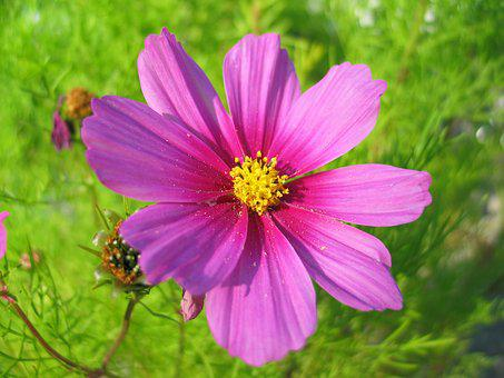 Cosmea, Flower, Summer, Blossom, Bloom, Pink, Nature