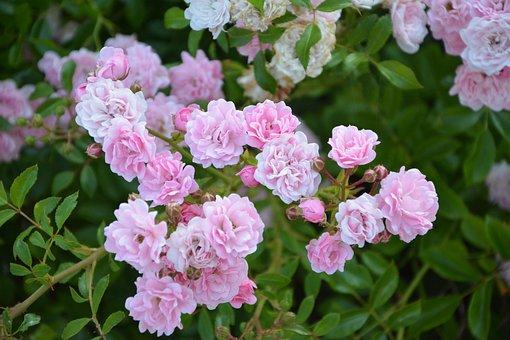Rose Bud, Rosebush, Pink, Nature, Garden, Bush