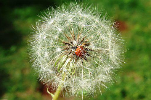 Ladybug, Insect, Dandelion, Flower, Seed, Plant, Nature