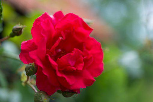 Red, Rose, Close Up, Flower, Red Roses, Love, Red Rose