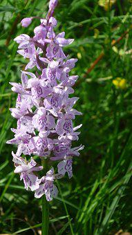 Heath Spotted Orchid, German Orchid, Small Flowers