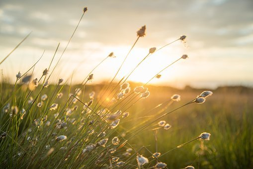 Plume, Sunset, Yellow, Nature, Landscape, Reed, Wind