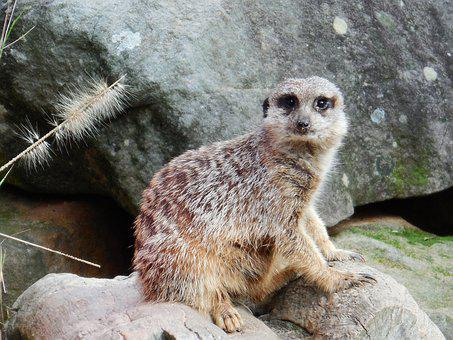 Meercat, Timon, Cute, Wildlife, Alert, Zoo, Wild