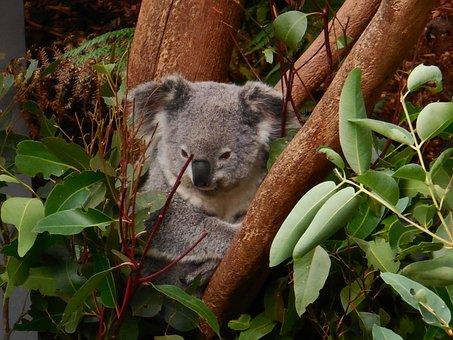 Koala, Cute, Animal, Wildlife, Zoo, Character, Fun