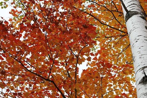 Birch, Birch Tree, Color, Leaf, Autumn, Fall