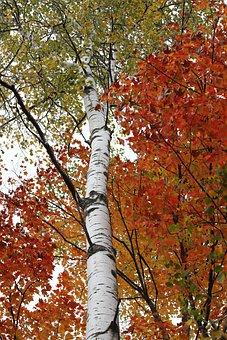 Birch, Birch Tree, White Bark, Color, Leaf, Fall, Trunk