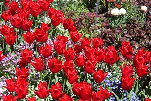 Botanical Garden Augsburg, Red Tulips, Flower Garden