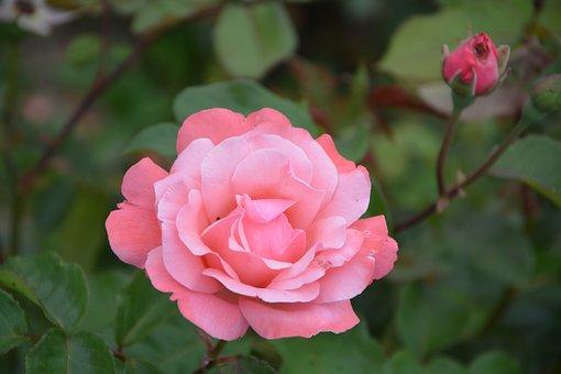 Pink, Rosebush, Bush, Garden, Flower, Petals
