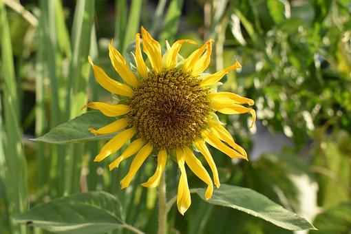 Sunflower, Yellow, Bright, Nature, Outdoor, Flowers