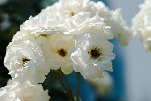 Flower, Garden, White Flower, Blossom, Bloom