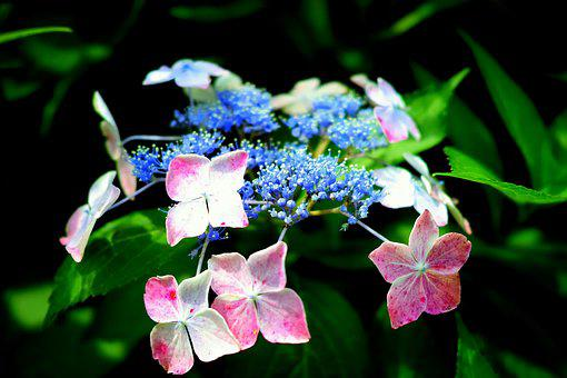 Hydrangea, In The Early Summer, Japan, Natural, Flowers
