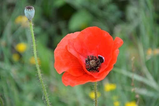 Poppy, Flower, Red, Nature, Fields, Country, Petals