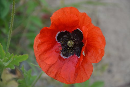 Poppy, Red, Flower, Nature, Summer, Petals, Field