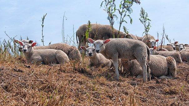 Sheep, Lambs, Young, Animals, Pasture, Outdoor Life