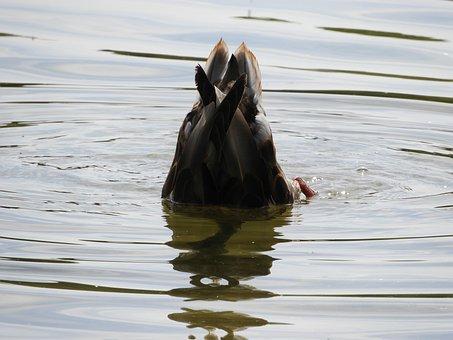Water Bird, Diving, Water, Plumage, Cute, Waterfowl