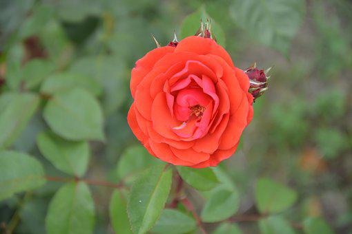 Pink, Red, Red Flowers, Garden, Flower, Nature, Petals