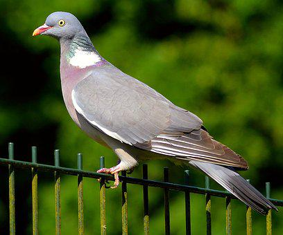 Ringdove, Dove, Bird, Nature, Animal, Plumage, Feather