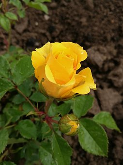 Rose, Yellow Rose, Flowers, Tender Rose